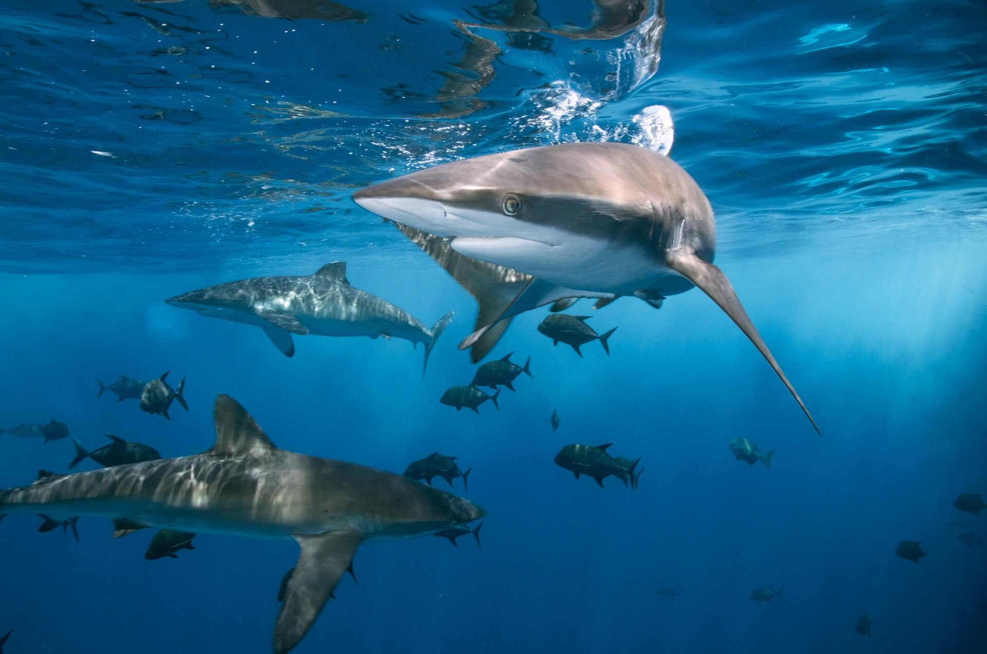 Another Image of sharks at an Oahu Shark Diving Tour